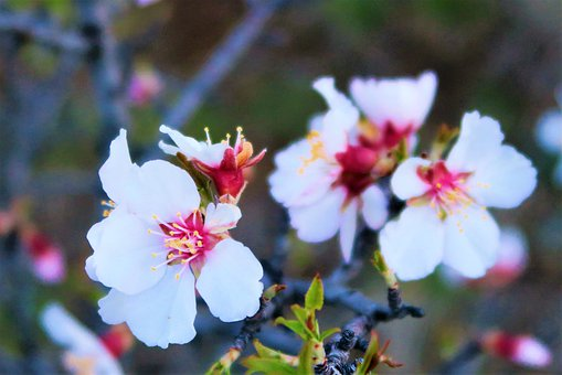 Flower, Spring, Tree, Almond, Pink, Nature, Plant