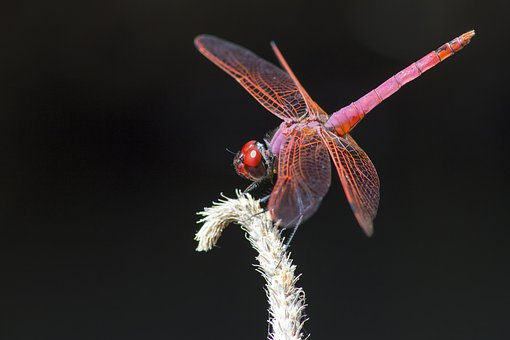 Violet Dropwing, Trithemis Annulata, Insect, Dragonfly