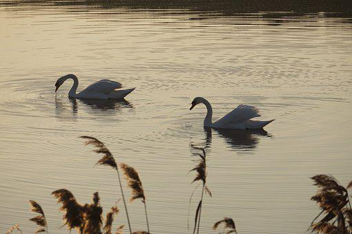 Swan, Water, River, Relaxation