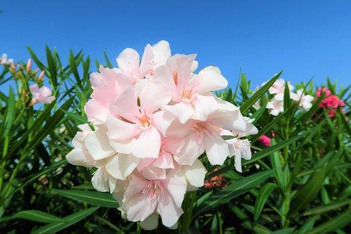 Flowers, White, Nature, Flower, Spring