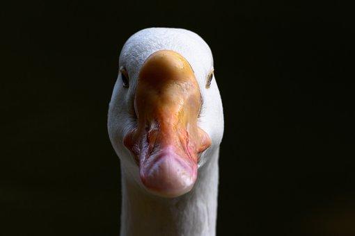 Swan, Bird, Water, Nature, Animal, Lake, White, Family