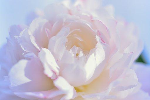 Flowers, Plant, White, Pink, Peony, Petal