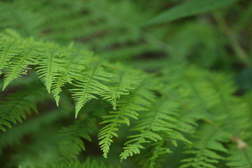 Green, Woodfern, Plant, Forest, Nature