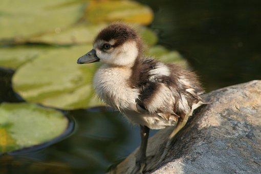 Nilgans, Chicken, Animals, Pond, Bird