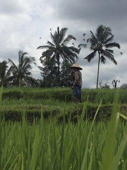 Indonesia, Rice, Paddy, Bali, Asia