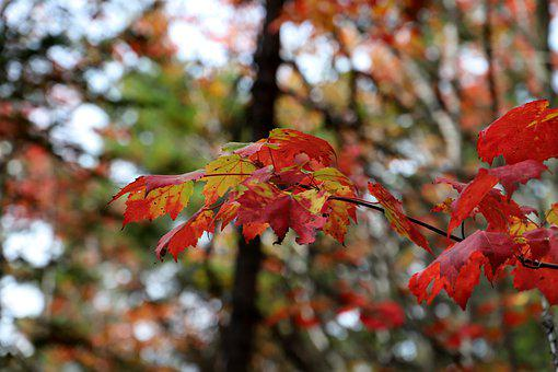 Tree, Leaves, Forest, Autumn, Green, Maple