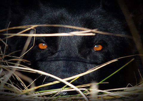 Eyes, Amazing, German Shepherd, Black Dog
