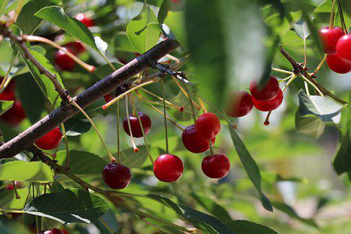 Cherries, Fruit, Cherry, Food, Fresh