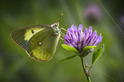 Palaeno Sulphur, Colias Palaeno, Butterfly, Macro