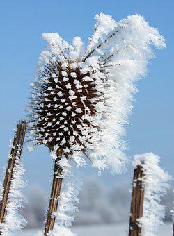 Forest Christmas, Dipsacus Fullonum, Rimy, Winter, Herb