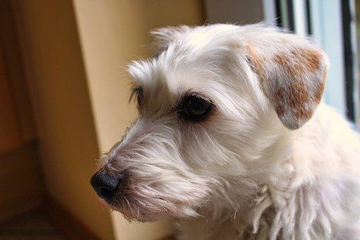 Dog, Jack Russell Terrier, Pet, Cute