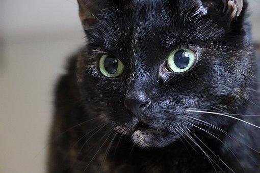 Cat, Cat's Eyes, Domestic Cat, Pet, Tortoise Shell