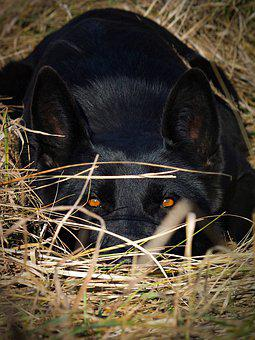 German Shepherd, Black Dog, Eyes, Hunter