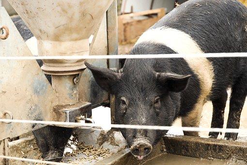 Pig, Animal, Farm, Outdoor, Livestock