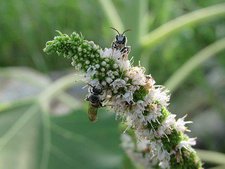 Bees, Flower, White, Insect, Nature