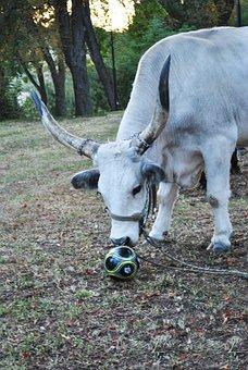 Beef, Grey Cattle, Game, Animal, Fun, Hungarian