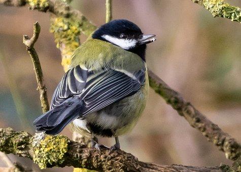 Great Tit, Tit, Small Bird, Garden Bird, Garden