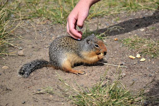 Connect Competition, Marmot, Gopher, Animal, Ground