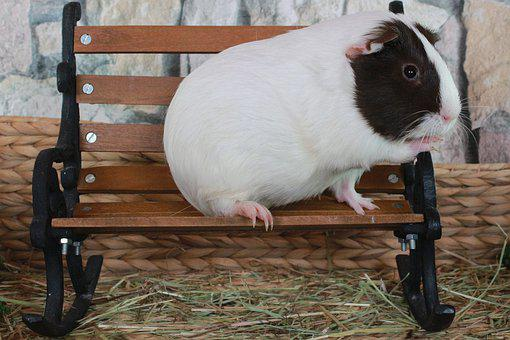 Guinea Pig, Sweet, Cute, Small, Pet, Nager, Rodent