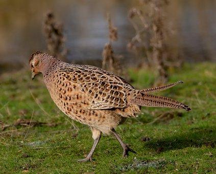 Female Pheasant, Hen Pheasant, Pheasant, Game Bird, Hen