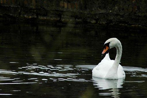 Swan, Lake, Nature, Water, White, Swim, Duck, Plumage