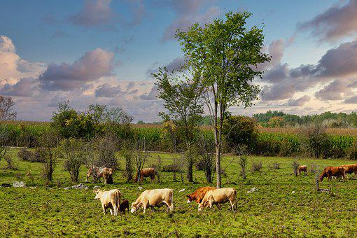 Cows, Pasture, Farm, Rural, Landscape