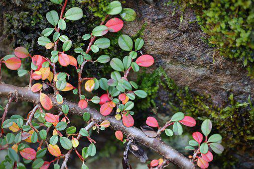 Cotoneaster, Ground Cover, Subjects Medlar, Leaves