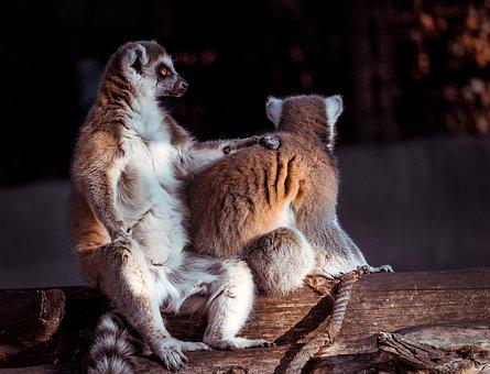 Lemur, Monkey, Animal, Cute, Mammal, Madagascar