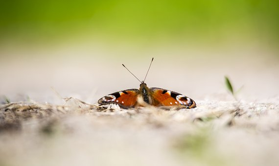 Peacock, Butterfly - Insect, Aglais Io, Macro, Plant