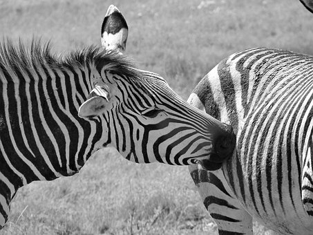 Mountain Zebra, Hartmann's, Zebra, Africa, Animal World