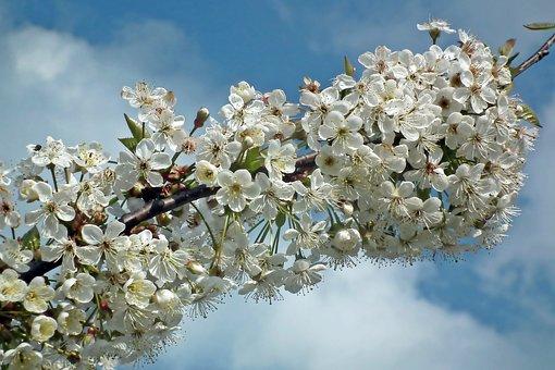 Cherry, Flowers, Spring, Nature, Tree, Garden