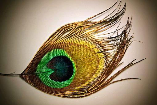 Feather, Peacock Feather, Peacock, Bird, Single Spring