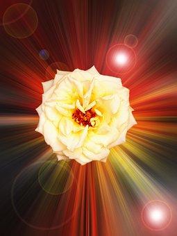 Rose, Flower, Design, Petals, Colors