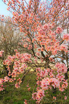 Flowers, Spring, Nature, Almond, Tree, Branches, Pink
