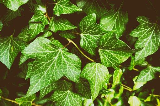 Ivy, Plant, Garden, Nature, Green