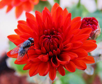 House Fly, Fly, Housefly, Red Chamanti