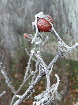 Rosa, Fruits, Cold, Fruit, Rose, Nature, Branch, Frozen