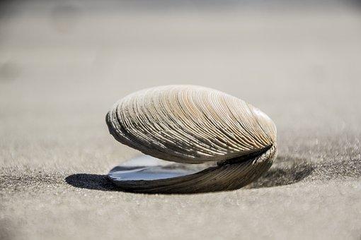 Seashell, Shell, Beach, Sea, Ocean, Seaside, Nature