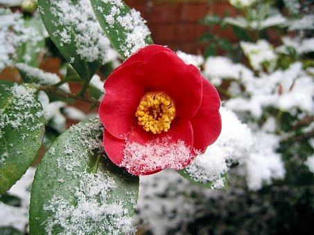 Camellia, Camellia Flower, Snow, Garden
