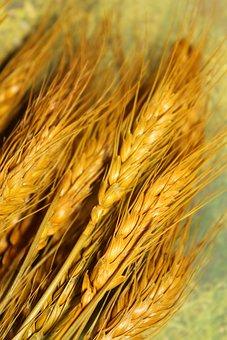 Wheat, Kolos, Spikelets, Golden, Spikes, Harvest