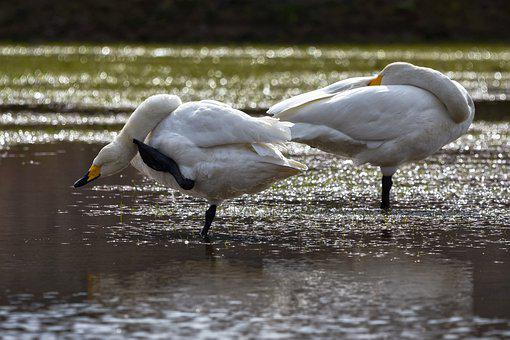 Animal, Paddy Field, Water, Bird, Wild Birds, Swan