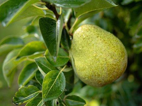 Pear, Tree, Fruit, Fruit Tree, Nature