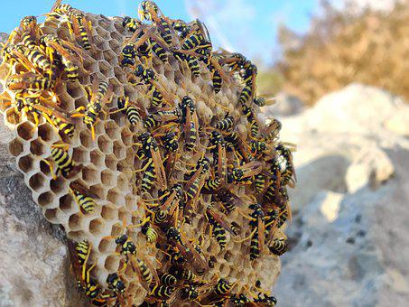 Wasps, Hive, Insect, Nature, Sting, Yellow, Wasp-combs