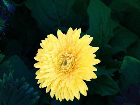 Yellow, Flower, Yellow Chamanti, Chamanti, Nature