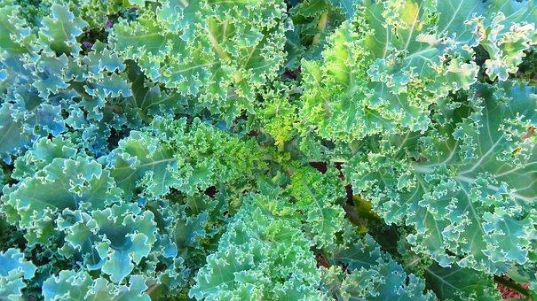 Kale, Green, A Vegetable, Fresh, Organic, Cabbage