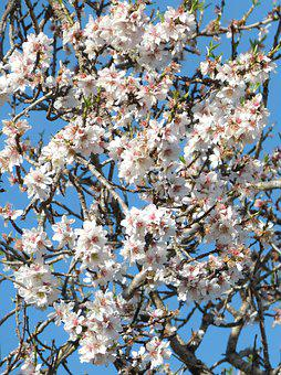 Almond Tree, Florir, Almond Tree In Bloom, Flowering