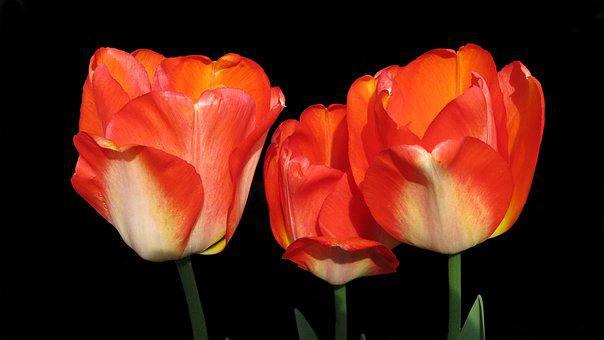 Tulips, Red, American Dream, Beauty, Spring Flowers