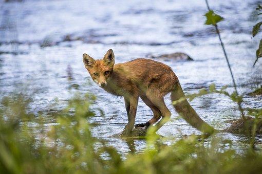 Red, Fox, Vulpes Vulpes, Animal, Meadows, Mammals