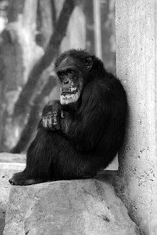 Monkey, Old, Black, White, Animal