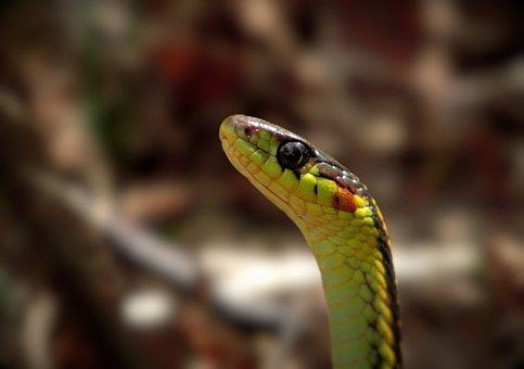 Snake, Garter, Head, Reptile, Animal